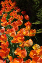 Free Orange Tulips Royalty Free Stock Photos - 2429368