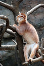 Free Young Silvered Leaf Monkey Royalty Free Stock Images - 2429579