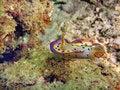 Free Chromodoris Kuniei Stock Images - 2429794