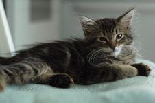 Fuzzy Kitten Stock Photos