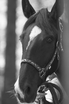 Free Mr. Ed2 Royalty Free Stock Images - 2421189