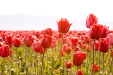 Cheerful Spring Red Tulips Royalty Free Stock Image