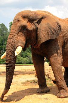 Free Giant Elephant Royalty Free Stock Photos - 2421468