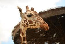 Free Giraffe Side View Royalty Free Stock Images - 2421509