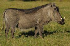 Free Warthog Waiting Royalty Free Stock Images - 2422329
