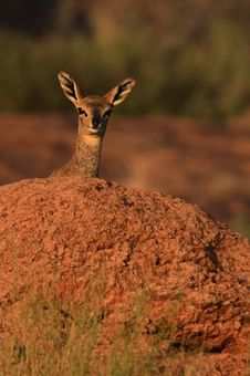 Free Klipspringer Female Peers Over Royalty Free Stock Photography - 2422787