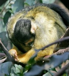 Free Common Squirrel Monkey 2 Stock Photography - 2423072