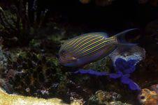 Free Tropical Fish №10 Stock Photo - 2426130