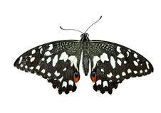 Free Chequered Swallowtail Stock Image - 2426571