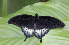 Free Black Butterfly Royalty Free Stock Photography - 2426627