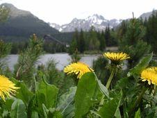 Free Flowers Of Dandelion At Strbsk Stock Image - 2426871