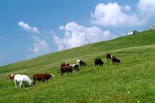 Free Alpine Cows Stock Photos - 2426993