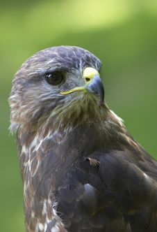 Free Alert Buzzard Stock Photo - 2427080