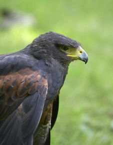Free Harris Hawk Stock Photography - 2427082