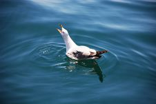 Free Sea Gull Royalty Free Stock Images - 2427569