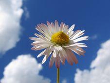 Free Daisy Royalty Free Stock Photos - 2427848