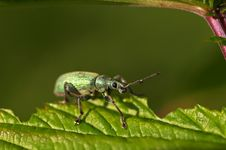 Free Green Bug Royalty Free Stock Photo - 2427985