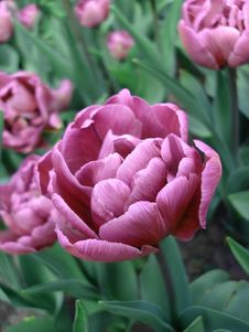 Free Pink Tulip On Field Stock Images - 2428744