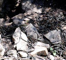 Garter Snake Den Royalty Free Stock Photo