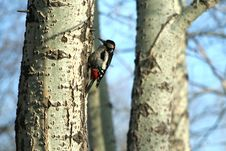 Free Woodpecker Royalty Free Stock Photography - 2429717