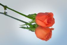Free Rose Stock Photography - 2429972