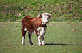 Free Hereford Cow Royalty Free Stock Photography - 24202257