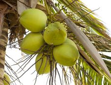 Free Clusters Of Green Coconuts Stock Photo - 24204580
