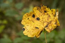 Free Yellow Maple Leaf Royalty Free Stock Images - 24204839