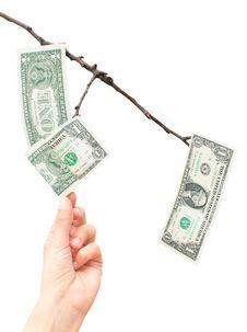 Free Money Tree Stock Image - 24205291