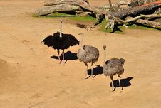 Free Ostriches Royalty Free Stock Image - 24210496