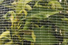 Free Orange Trees Under Netting Royalty Free Stock Photos - 24212468