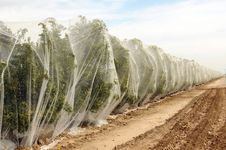 Free Rows Of Orange Trees Under Netting Stock Images - 24212474