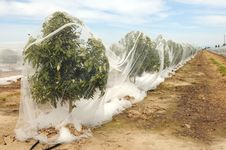 Free Rows Of Orange Trees Under Netting Stock Photography - 24212482