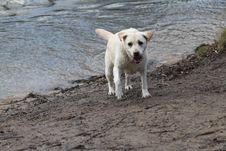 Free Labrador Retriever Royalty Free Stock Image - 24214976