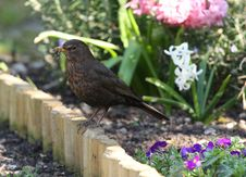 Free Blackbird Stock Images - 24216804