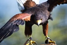 Free Eagle With Open Wings Royalty Free Stock Photo - 24217605