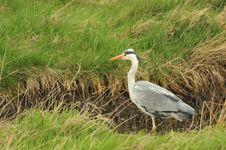 Free Grey Heron &x28;Ardea Cinera&x29; Stock Image - 24219851