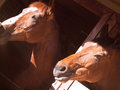 Free Couple Of Horse In Loose-box Stock Photos - 24221733