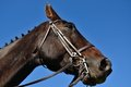 Free Brown Stallion Royalty Free Stock Image - 24227756