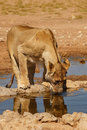 Free Lioness Drinking Water Royalty Free Stock Image - 24228376