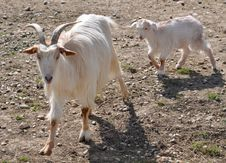 Free Little Goat Stock Image - 24220051