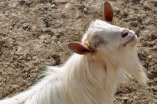 Free Horn Beard Goat Royalty Free Stock Photo - 24220135