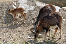 Free Goat Trio Royalty Free Stock Photography - 24220157