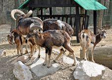 Free Goat Shelter Stock Image - 24220541