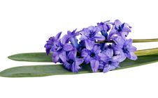 Free Fresh Blue Hyacinth Flower Stock Images - 24220914