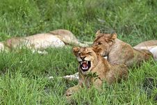 Free Snarling Lion Royalty Free Stock Images - 24223199