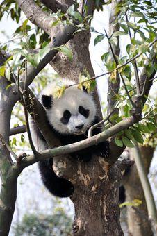 Free Baby Panda Stock Image - 24223431