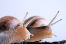 Free Snails Look After Royalty Free Stock Photo - 24228185