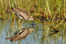 Free Water Thick-knee Royalty Free Stock Photos - 24228238