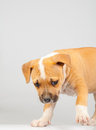 Free Cute Stafford Terrier Puppy Walking Royalty Free Stock Photos - 24231348